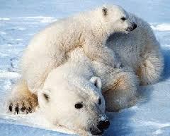 Bela medveda